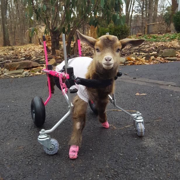 Rescue Goat Poppy