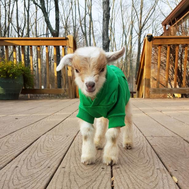 Baby Goat Prospect