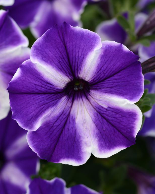 Color Blitz Blue Star Petunia