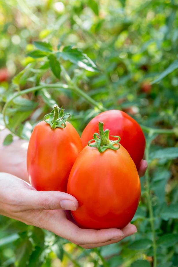 Gladiator Tomato