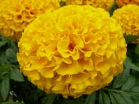 7 Ways to Use Marigold Flowers