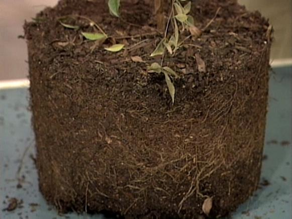 young trees with healthy roots grow rapidly