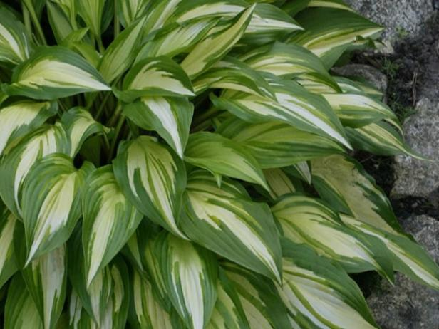 Perennials that love shade diy cherry berry hosta is variegated white and green mightylinksfo
