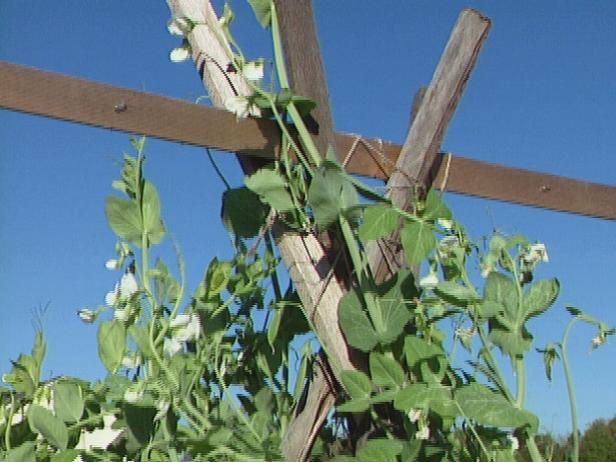 peas grow well when supported by a trellis