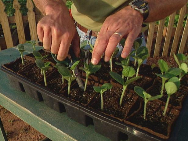 "Once the seedlings reach 2"" tall, thin the plants with scissors to one plant per pot."