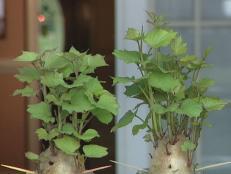 How To Grow Sweet Potato Plants