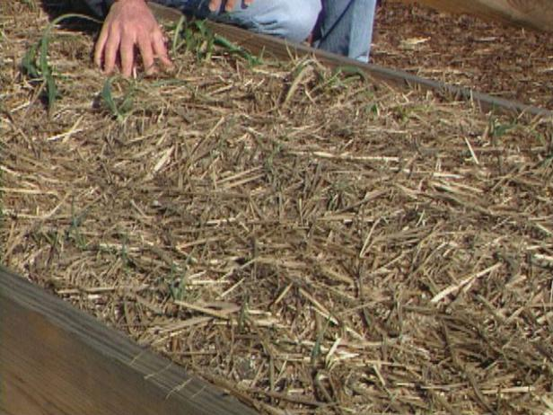 Use Heavy Mulch for Garlic Plants