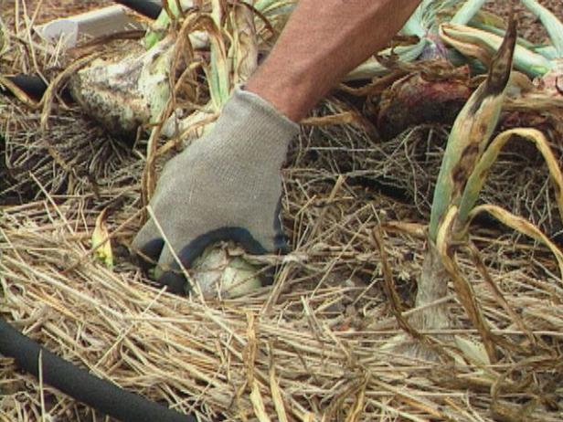 Carefully Harvest Garlic and Shallots