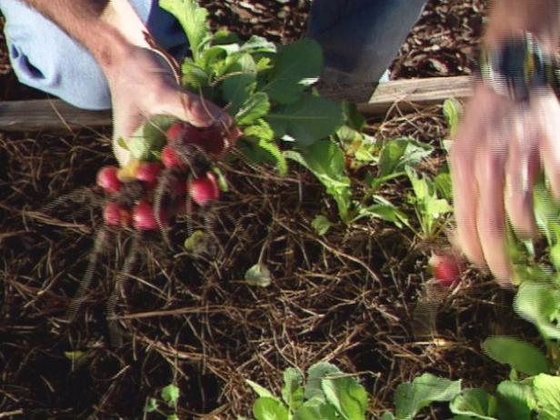 To harvest, pull up radishes by the base of the stems.