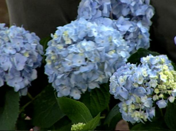 endless summer hydrangea have big blue blooms