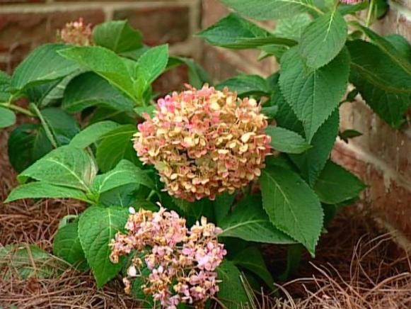 endless summer hydrangea is repeat bloomer