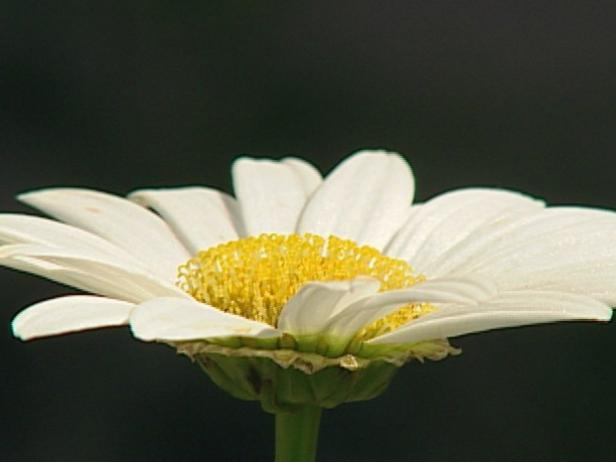 becky shasta daisy is herbaceous perennial