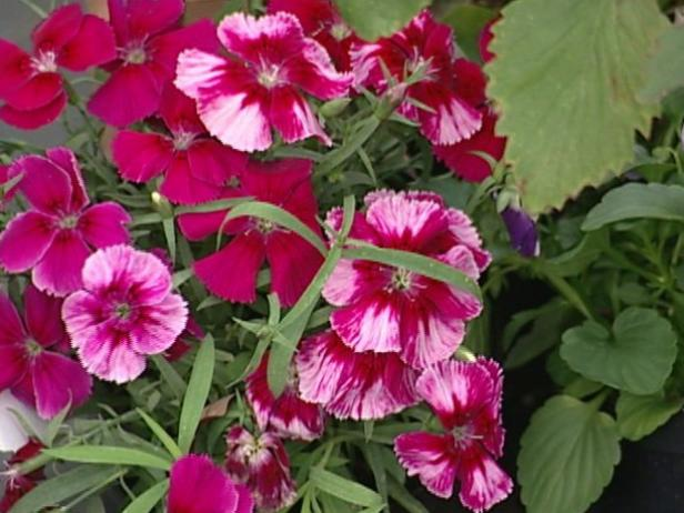 dianthus is trailing evergreen perennial