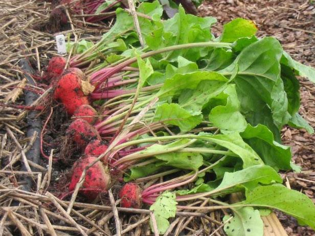 Red Beets With Green Leaves and Purple Stems