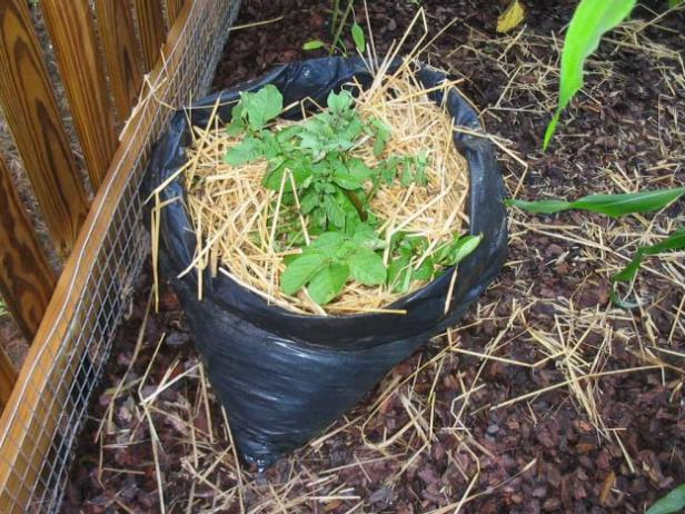 as plant grows keep adding soil or straw to top