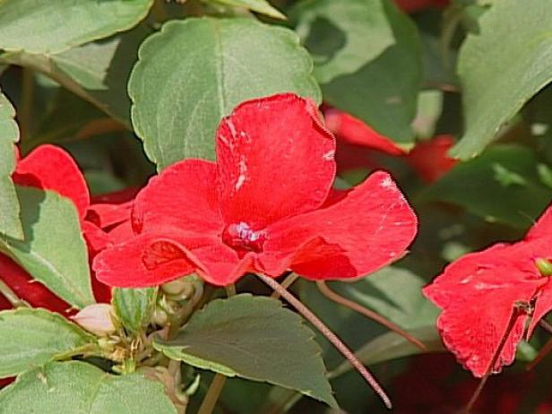 super elfin impatiens grown for profuse blooms