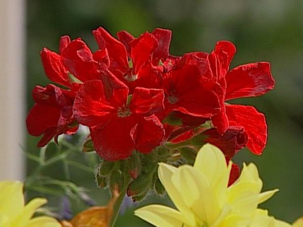 bulls eye scarlet red is a zonal geranium