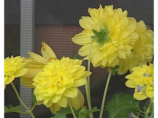 dahlias are tuberous rooted perennials