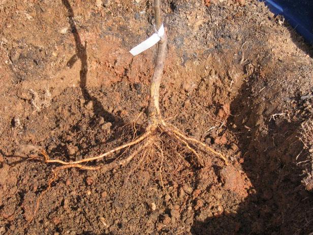 If you are working in a claylike soil, use a spading fork and poke it into the bottom and sides of the hole. This creates little nooks and crannies that roots can use as footholds as they grow out into the surrounding soil.