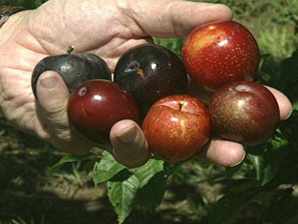 How to Harvest Your Plums