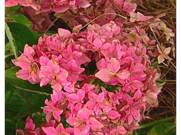 pink elf hydrangea is an old fashioned plant