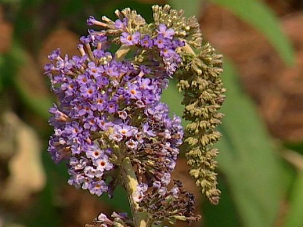 adonis blue butterfly bush has blue spike flowers