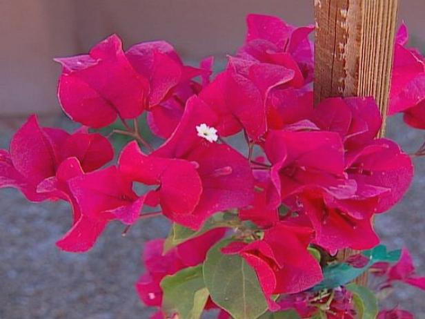 barbara karst bougainvillea has vivid red flowers
