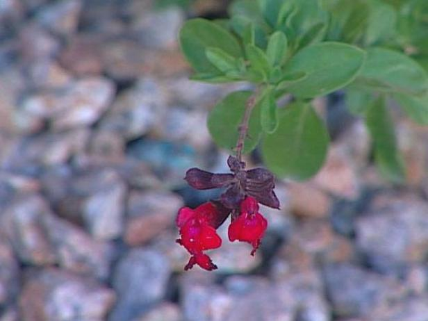 autumn sage has trumpet shaped colorful flowers