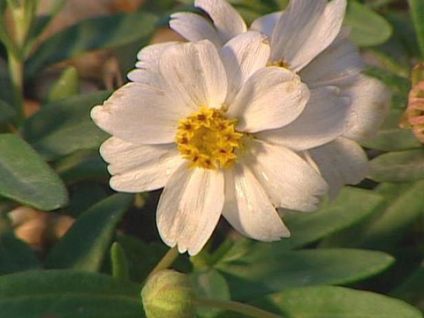 blackfoot daisy can be invasive in some areas