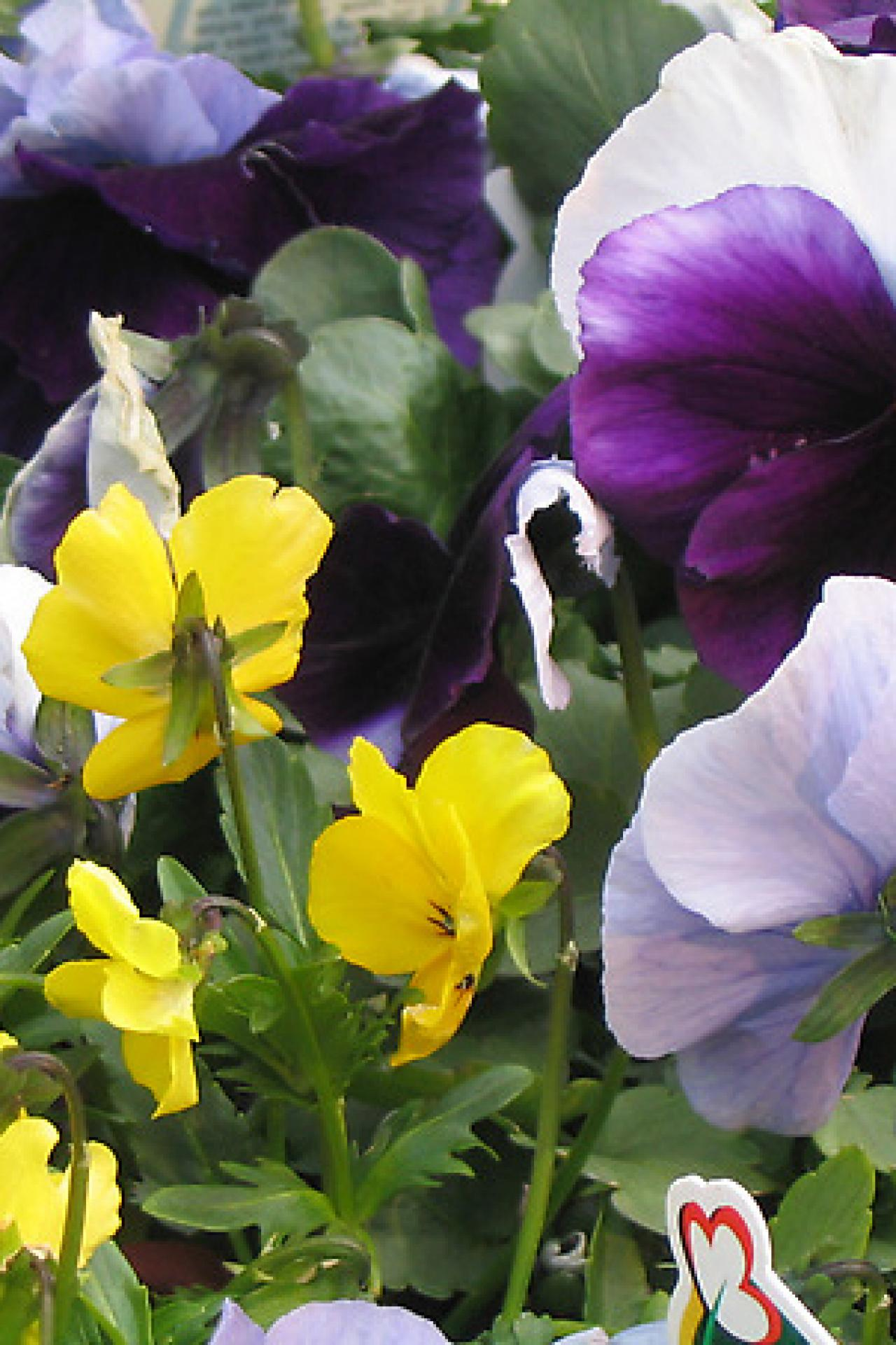 Popular annuals diy dtdo120gardenpansiescontrastingcolor izmirmasajfo