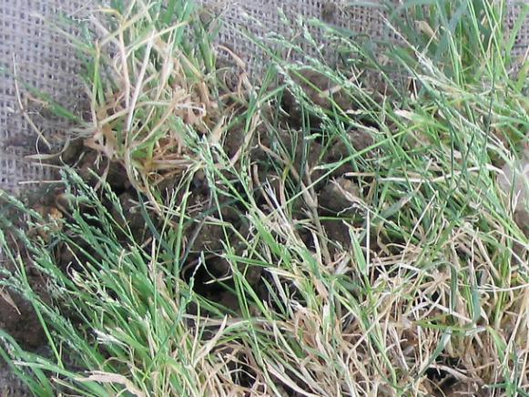 weed found in compact soil is annual bluegrass