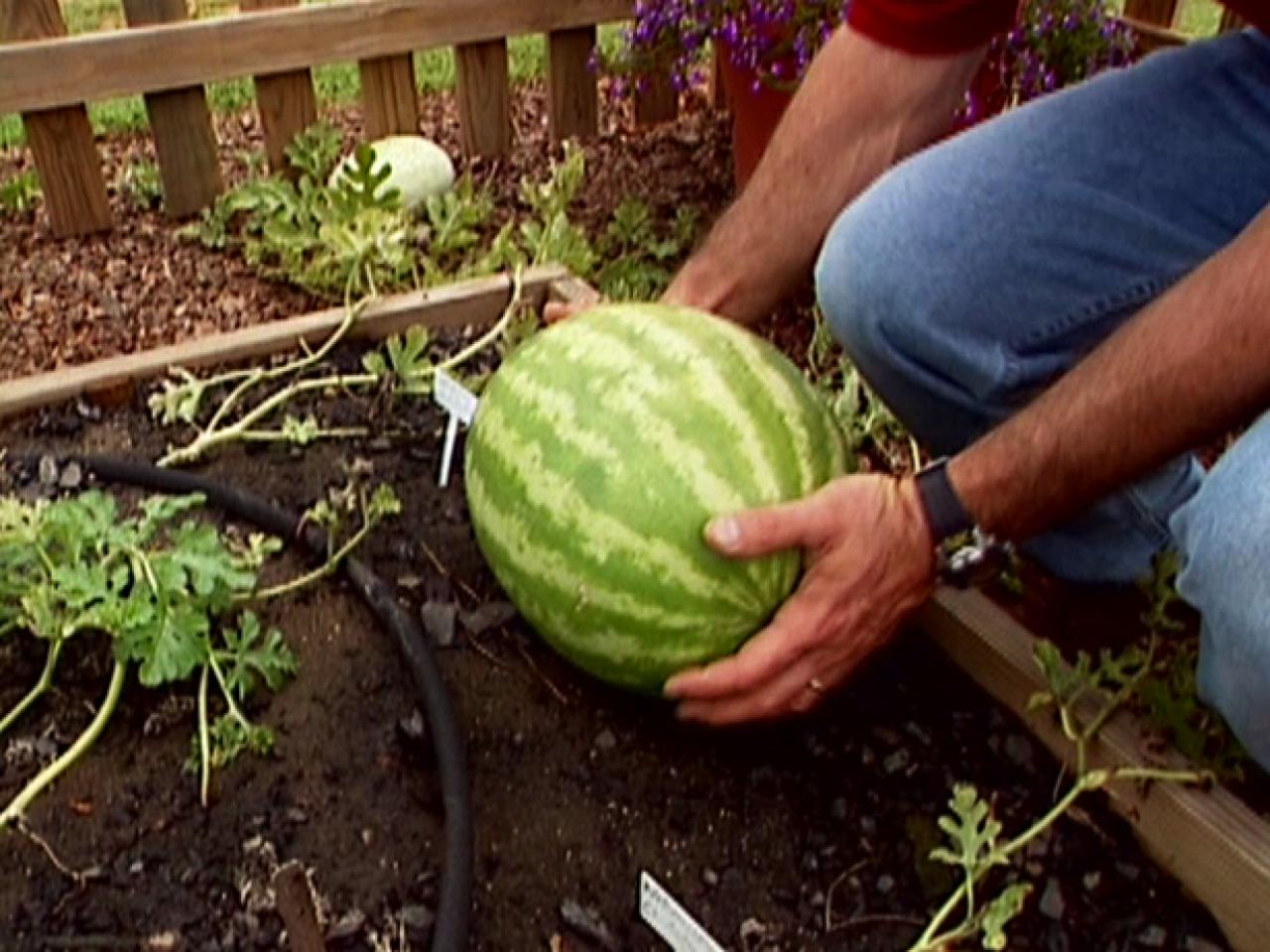 How To Grow Watermelon Tos Diy