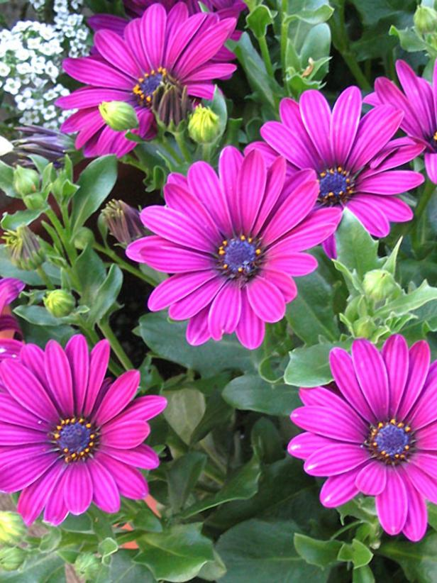 hgPG-2152507-Outdoor_Osteospermum_Soprano_Purple