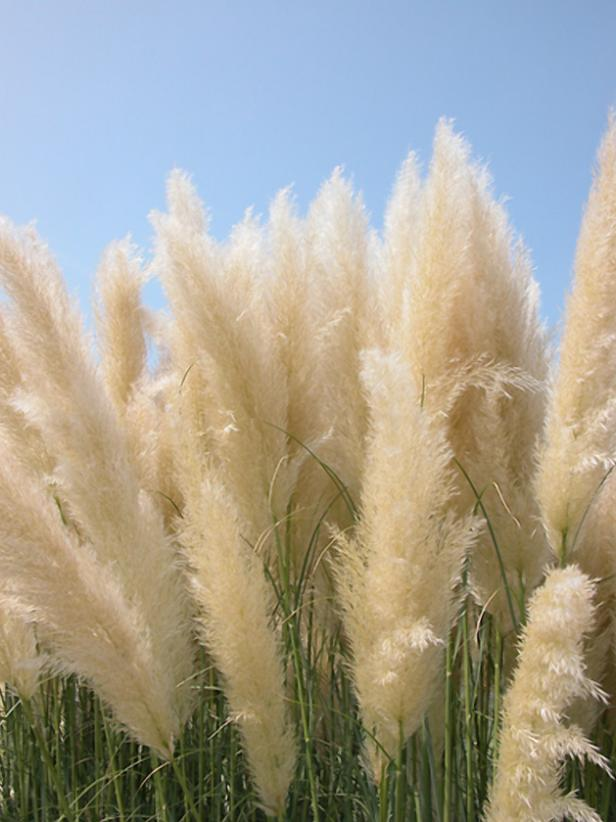 hgPG-2152514-Outdoor_pampas_grass