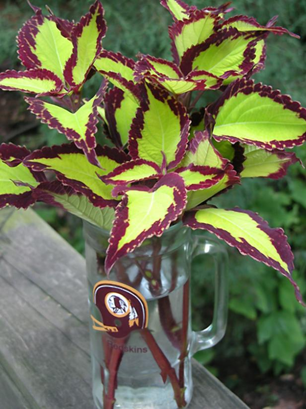 hgPG-2152508-Outdoor_Redskins_coleus