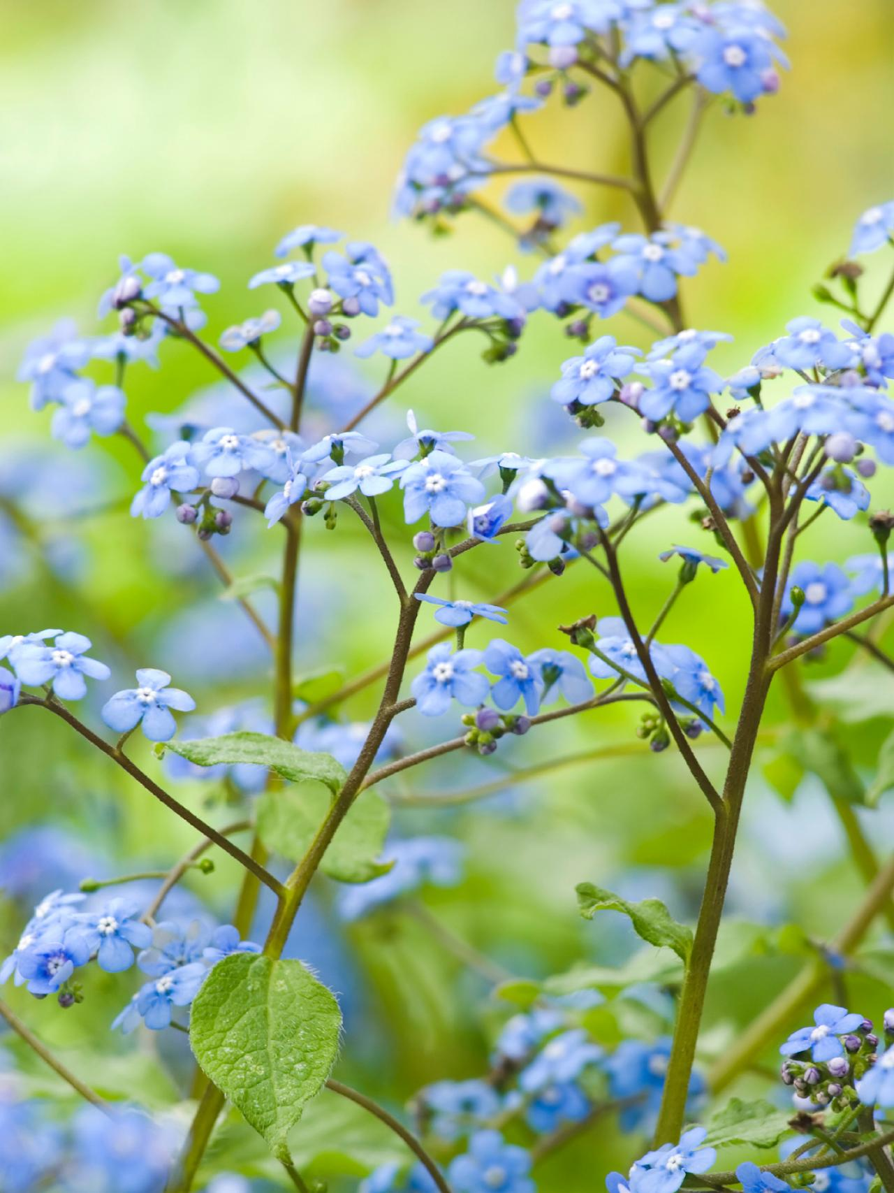 Perennials that love shade diy brunnera siberian bugloss flowers perennial mightylinksfo