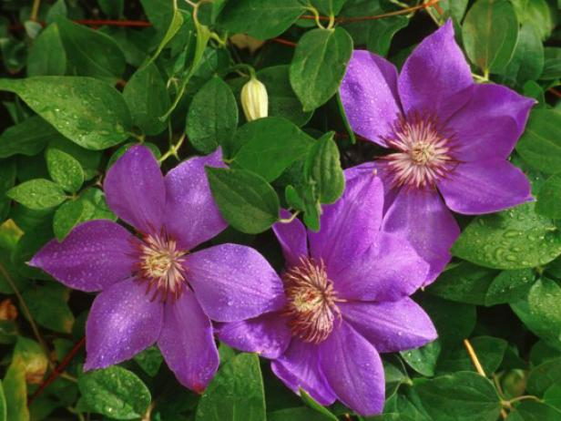 5 purple perennial flowers diy color flowers perennials plants ci horticopiajackmanii clematis4x3 mightylinksfo