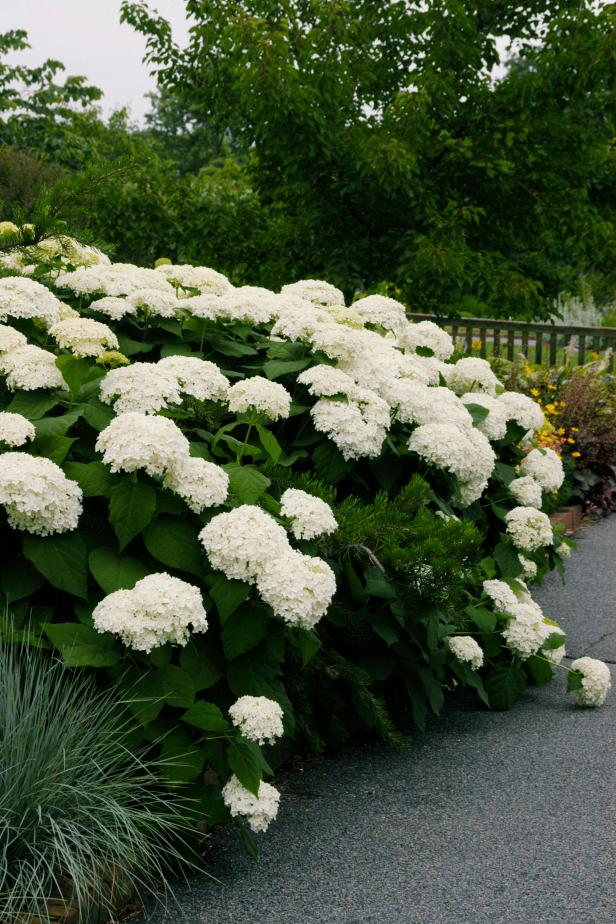 8 Best Perennial Shrubs Diy