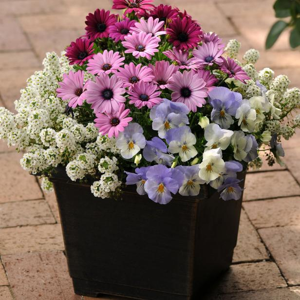 Osteospermum, Viola And Sweet Alyssum