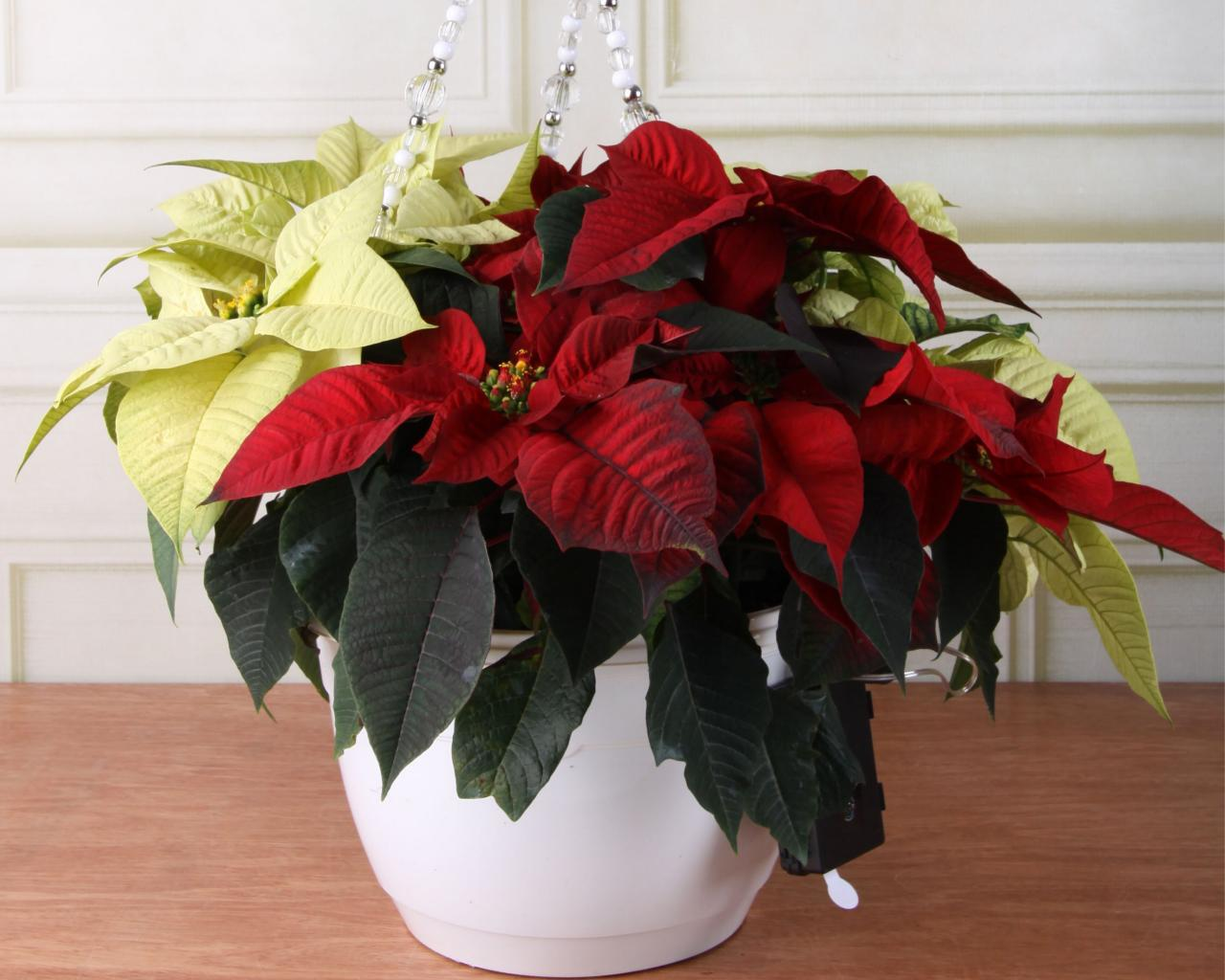 How To Care For Poinsettias Diy
