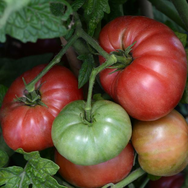 Ripening Tomato Cluster With Red And Green Tomatoes