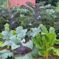 Swiss Chard, Kohlrabi And Kale