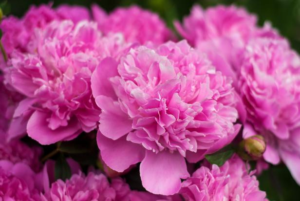 Peony colors diy pink peonies mightylinksfo