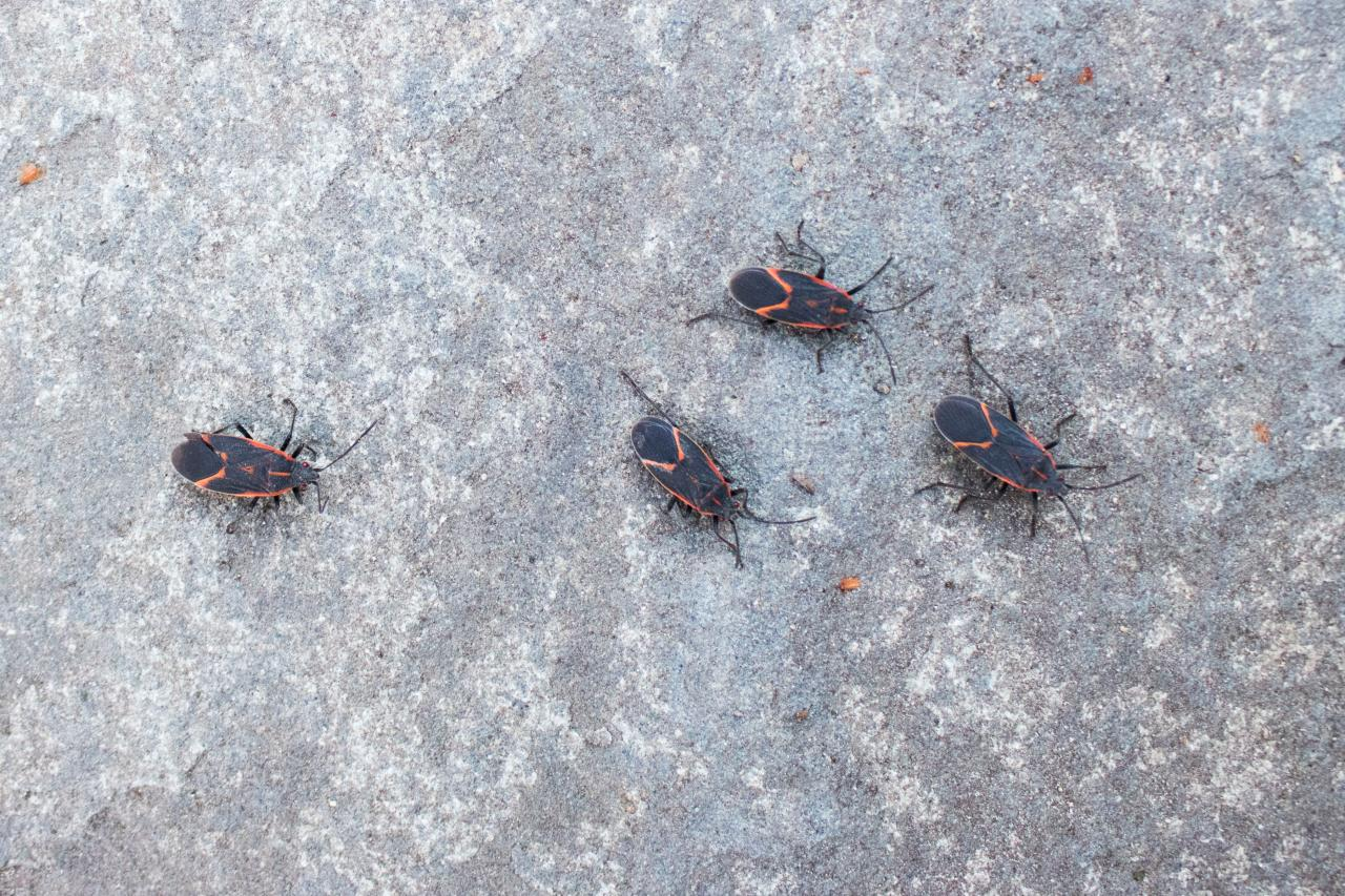 Diy Tips To Keep Boxelder Bugs And Ladybugs Out Of Your Home Diy