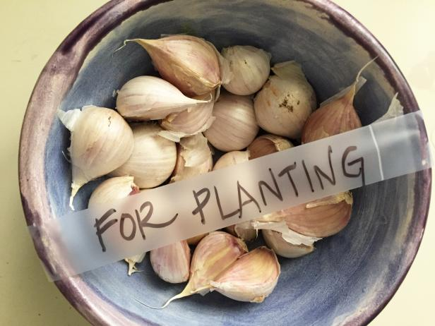 Learn When (and How) You can Harvest Your Garlic
