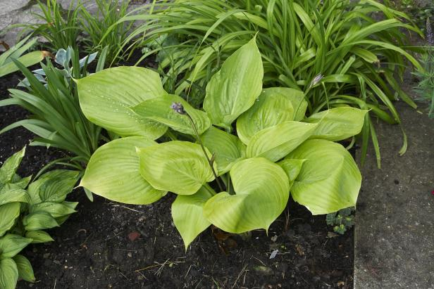 All About Hosta Sum And Substance Plants Diy